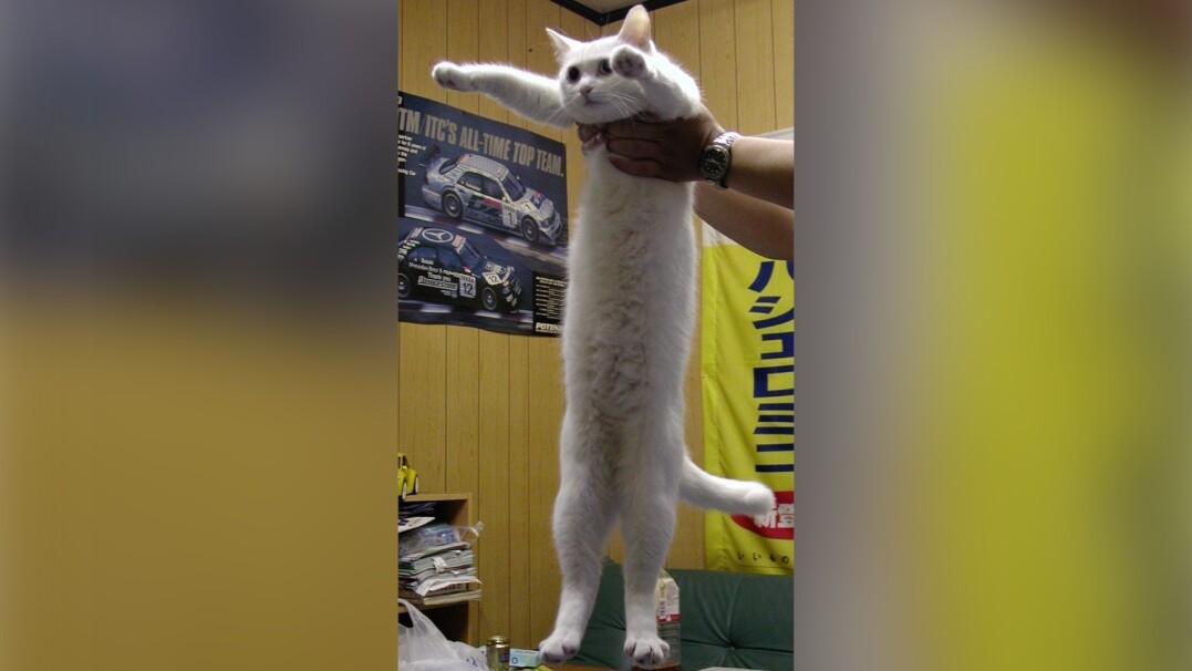 """Zmarł """"najdłuższy kot internetu"""". Nobiko miała 18 lat"""