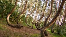 Krzywy Las (Polska)