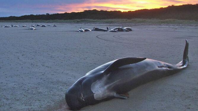 Za ich agonię może odpowiadać Słońce. Wieloryby ginęły na plażach jeden po drugim
